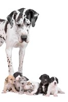 Great Dane with Puppy